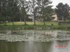 blühendes Seerosenfeld im Teich