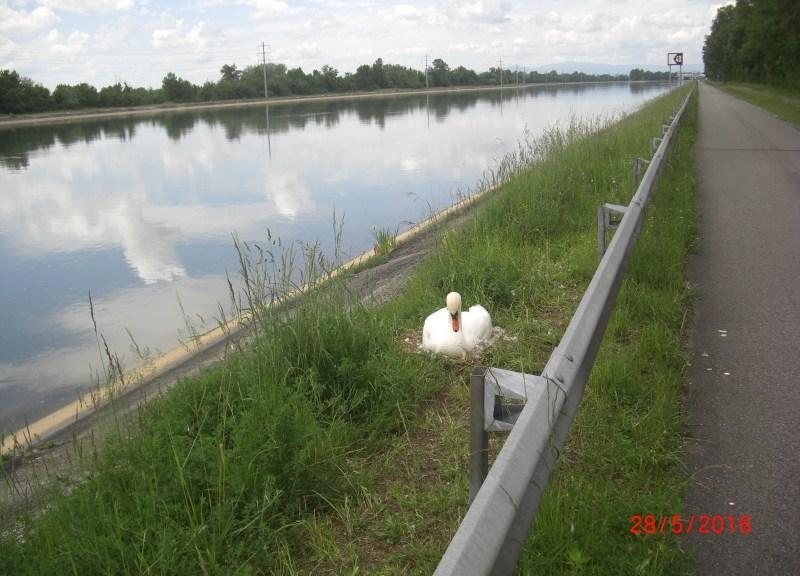 brütender Schwan auf Dammkrone neben der Leitplanke