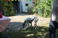 Dalmatinerin im Garten