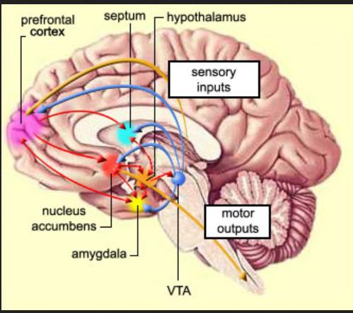 septum brain 555