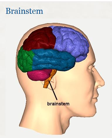 brain stem  em