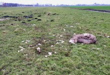 Photo of Meerdere schapen aangevallen door hond of vos in weiland Wijdewormer
