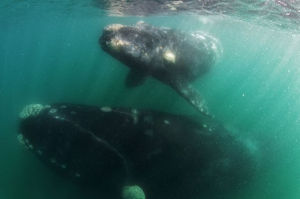 A-southern-right-whale-mother-seen-under-a-whale-watching-boat-in-Peninsula-Valdez-Argentina-2939972