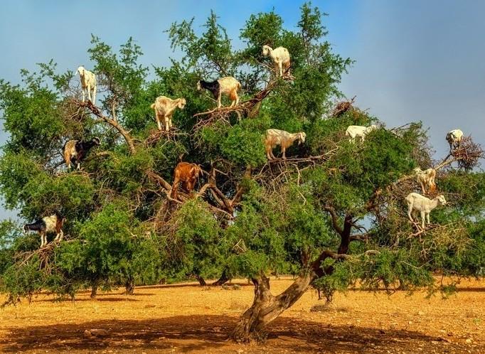 Descubra o que leva as cabras de Marrocos a escalarem árvores
