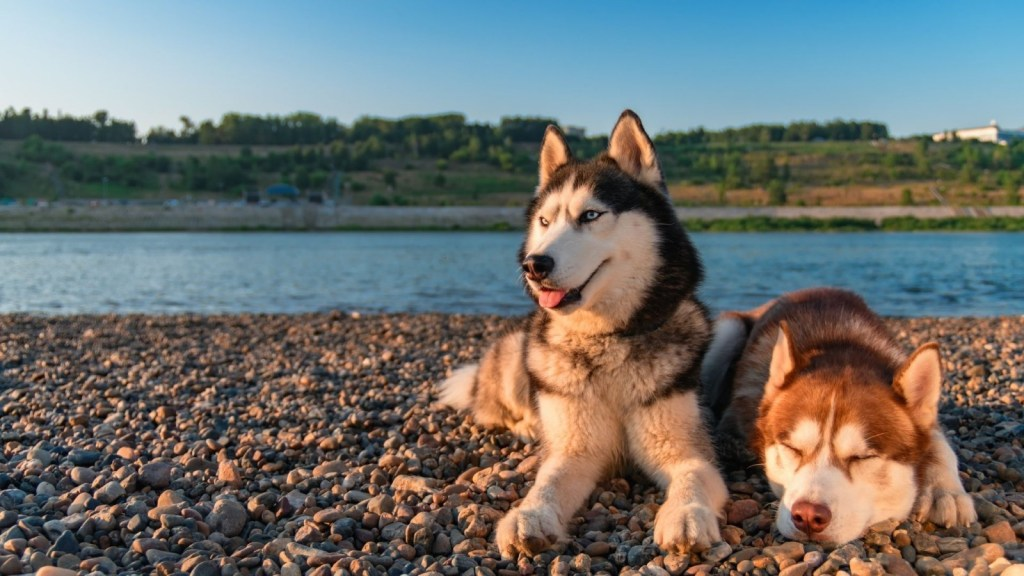 Siberian Husky - One of Canada's most popular dog breeds available for your Microsoft Teams virtual background.