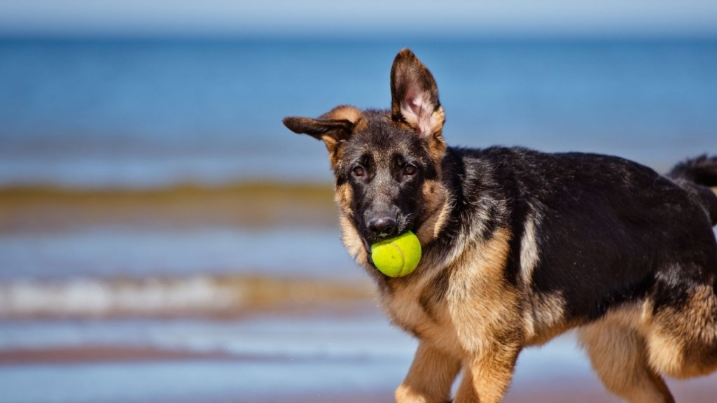 German Shepherd - One of Canada's most popular dog breeds available for your Microsoft Teams virtual background.