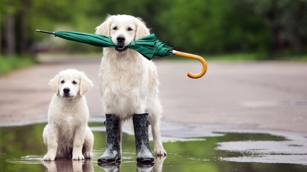 Golden Retriever - One of Canada's most popular dog breeds available for your Microsoft Teams virtual background. Get the best Dog Microsoft Teams Backgrounds.