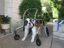 Saint Bernard in a cart to help support her while she walks