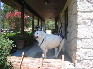 Gus the Great Pyrenees supported on his front porch in a sling rehabdeb built