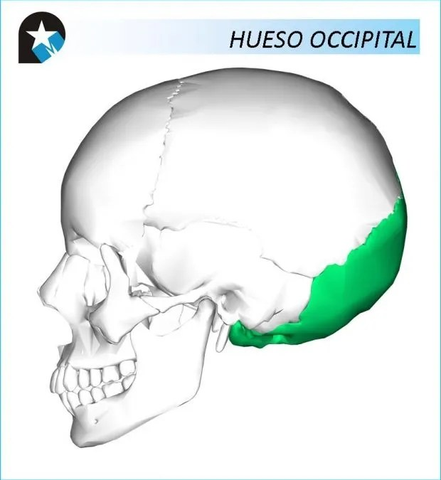 ANATOMÍA: Hueso Occipital - Rehabilitación Premium Madrid