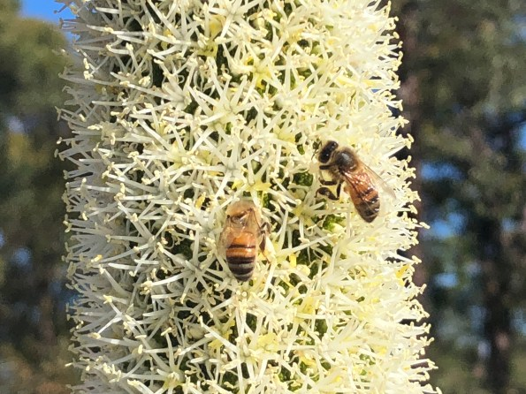 Bees on Grass tree flower spike