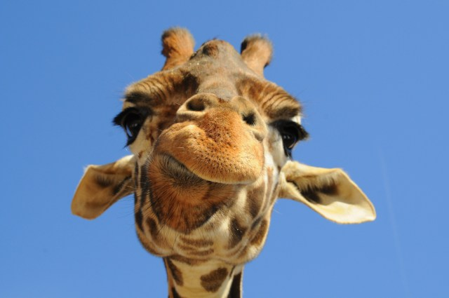 giraffe, neck pain, pinched nerve, degenerative disc, fusion