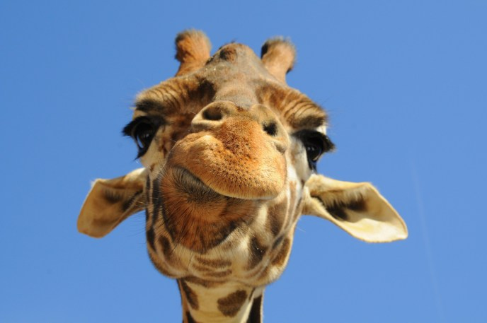 giraffe, neck pain, pinched nerve, degenerative disc, fusion