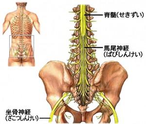 「馬尾神経」の画像検索結果
