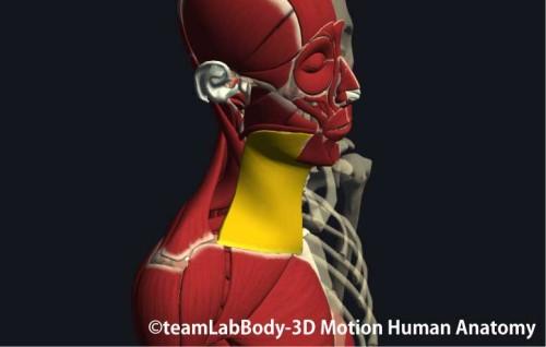 広頚筋の走行