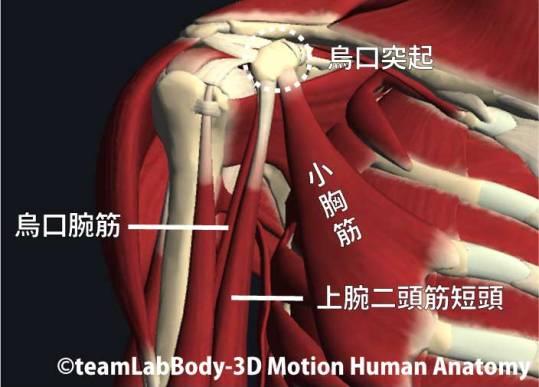 烏口突起に付着する筋肉1