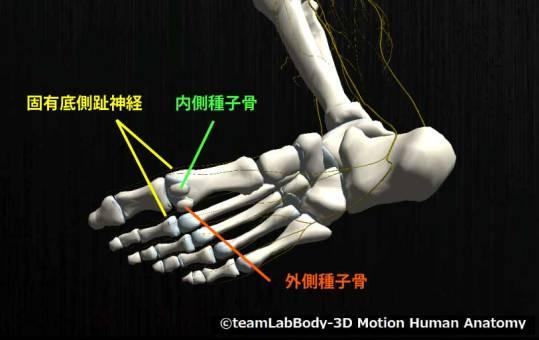 固有底側趾神経