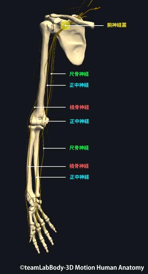 上肢神経前面