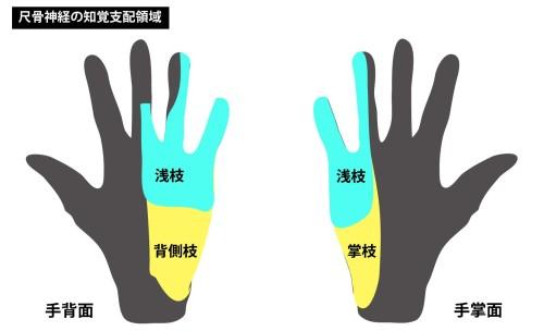 尺骨神経の知覚領域|掌側枝と背側枝|浅枝