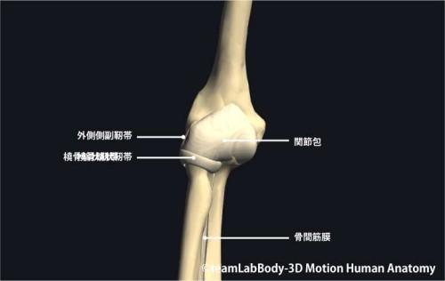 肘関節の靱帯前面|各部位の名称
