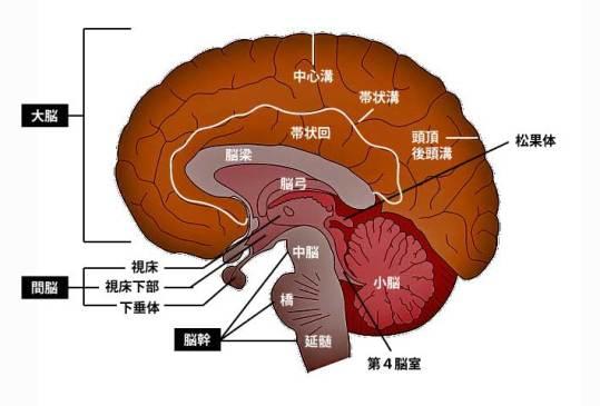 脳矢状断②