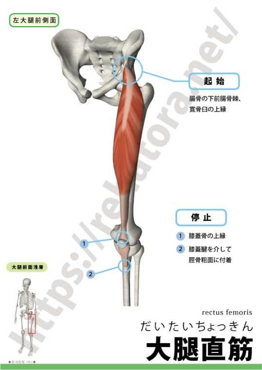 大腿直筋の起始停止