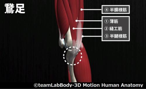 縫工筋と鵞足