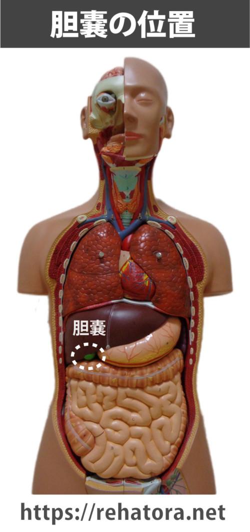 胆嚢の位置