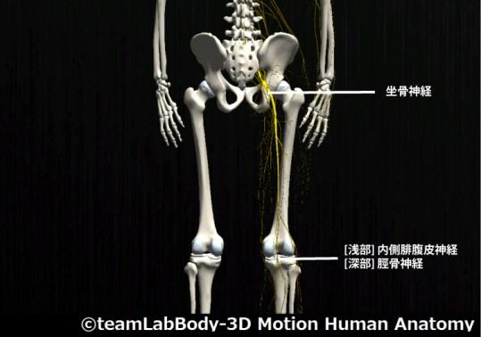 坐骨神経|脛骨神経|内側腓腹皮神経