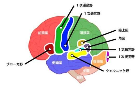 大脳皮質|前頭葉、頭頂葉、後頭葉、側頭葉|ウェルニッケ野|ブローカ野