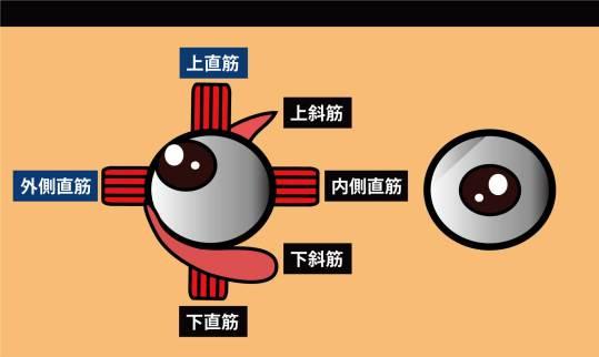 眼の筋 外側直筋,上直筋