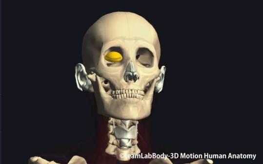 眼輪筋眼瞼部