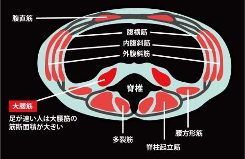 大腰筋の筋断面積|腹部CT