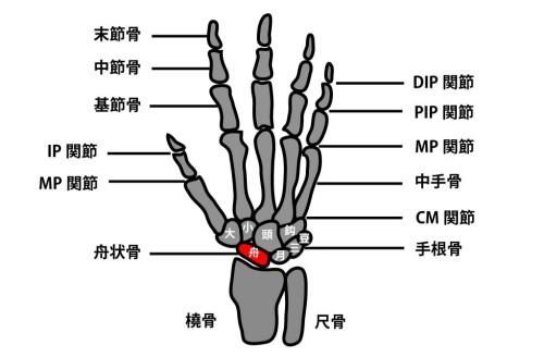 手根骨の配列と構造|舟状骨骨折