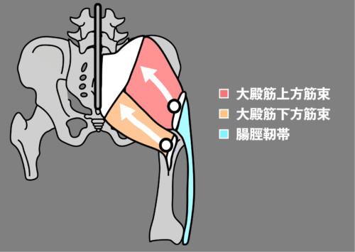 大殿筋の構造2|股関節外転と内転の違い