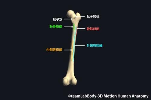 大腿骨転子部後面の各名称