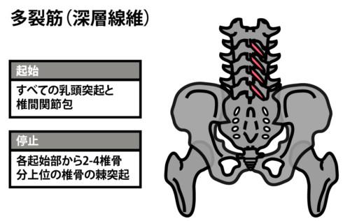 多裂筋深層線維