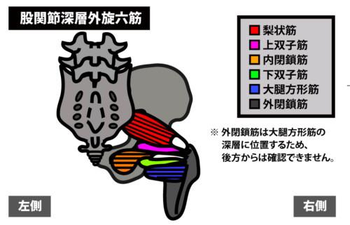 殿部の痛みの原因|股関節深層外旋六筋