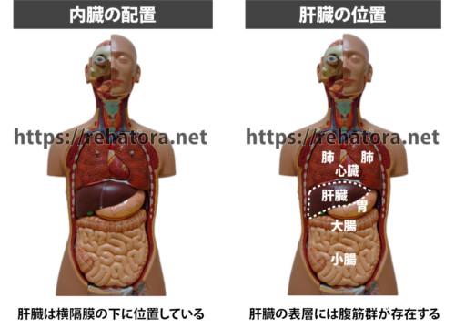 肝臓の場所