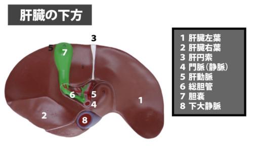 肝臓の後下方