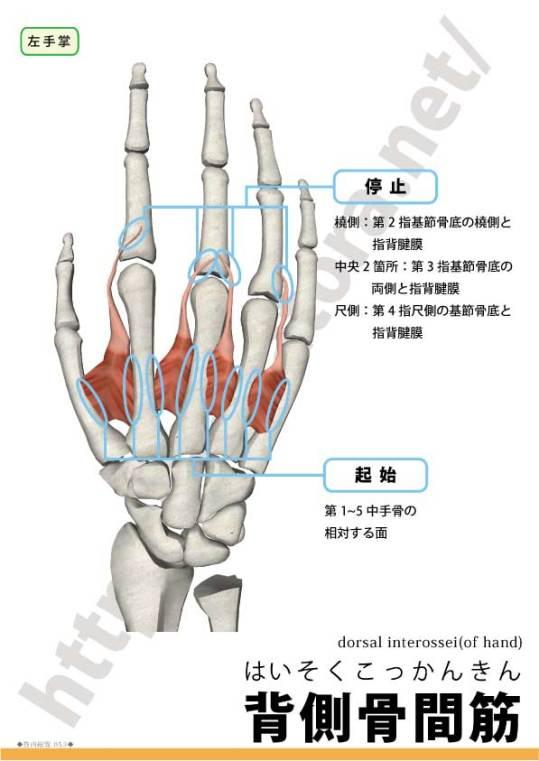 手の背側骨間筋の起始停止
