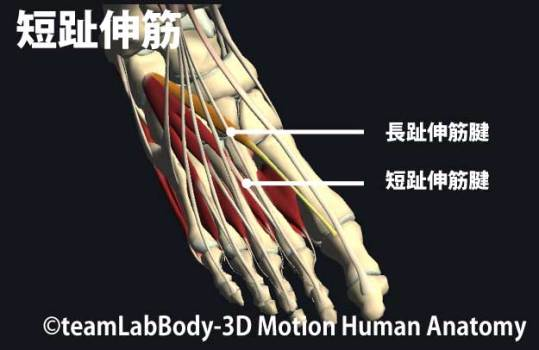 短趾伸筋の触診