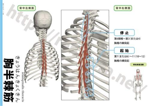 胸半棘筋の起始停止