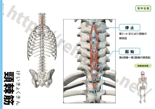 頸棘筋の起始停止