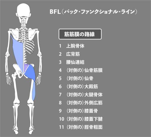 アナトミートレイン:筋膜:BFL