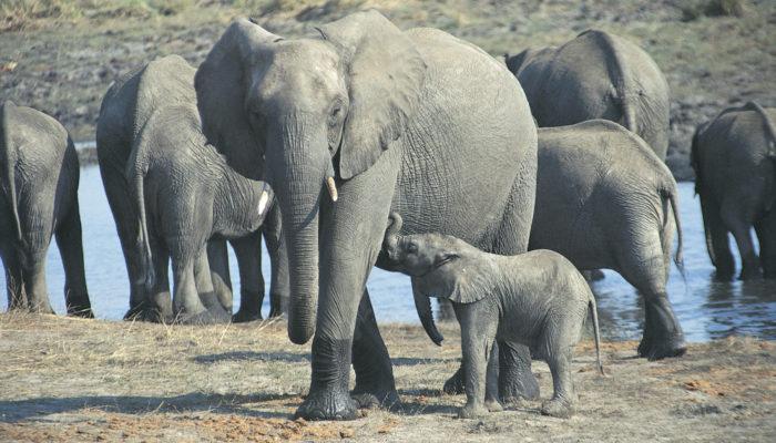 protecting elephants reid park