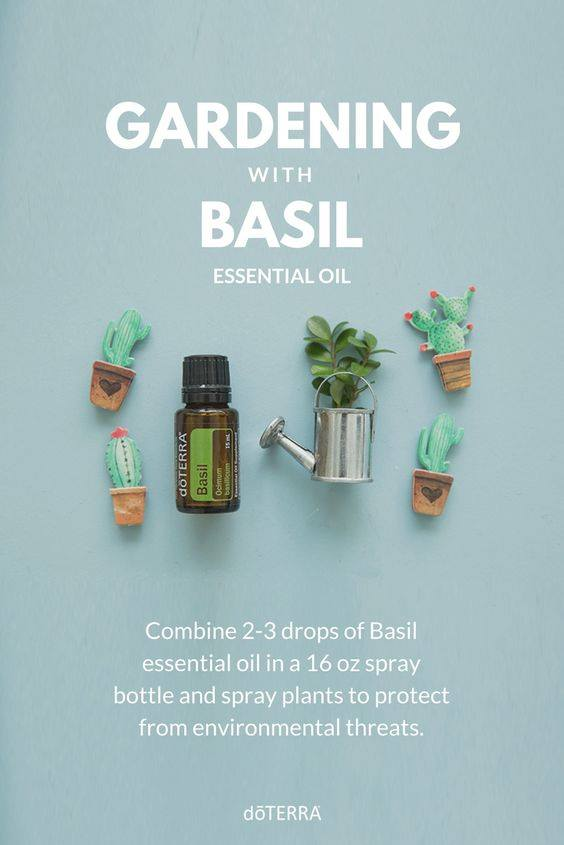 gardening with basil essential oil