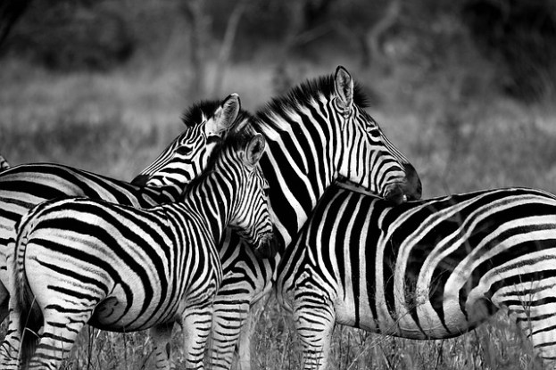 Three zebras to symbolize EDS