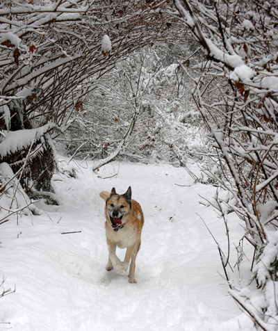 Puma Runs Snowy Arches In Schmitz Park ©2008 Rose De Dan Www.reikishamanic.com