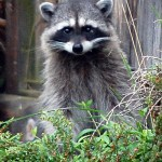 Raccoon Chicken Thief ©Rose De Dan www.reikishamanic.com